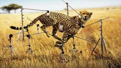 Canon - Cheetah