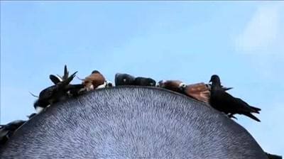 Panadol - Live Pecked