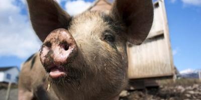 Carmolimp: Creste pretul pentru carnea de porc cu 12-15% pana la finalul anului