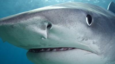 MARELE RECHIN ALB - vedeta Shark Week de marti, 26 august