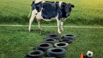 In Finlanda, vacile fac lucruri trasnite
