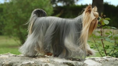 Royal Canin - Video Lansare Yorkshire Terrier