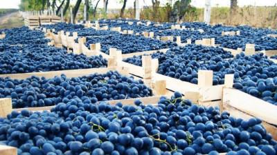 6 producători de struguri de masă din Republica Moldova vin la Indagra