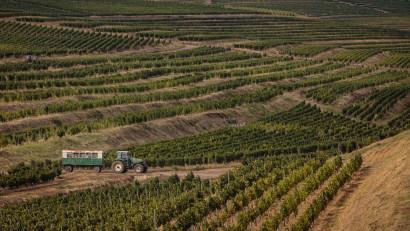 Tohani România: Un an excelent pentru Feteasca Neagră.Producția de struguri de calitate, în creștere cu 20%